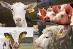 До уваги суб'єктів господарювання, які утримують та розводять велику рогату худобу, овець і кіз