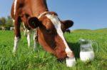 Вплив хвороб корів на якість молока