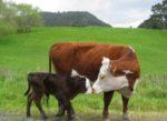 Запобігання і профілактика післяпологового парезу у корів