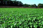 Сигналізаційне повідомлення про фітосанітарний стан посівів сільськогосподарських культур в сільгосппідприємствах Херсонської області на 19 березня 2019 року