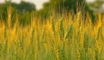 Захист посівів ярого ячменю від сажкових хвороб