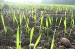 Сигналізаційне повідомлення щодо фітосанітарного стану посівів сільськогосподарських культур в сільгосппідприємствах Херсонської області на 14 березня 2019 року