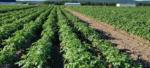 Порядок польового інспектування картоплі