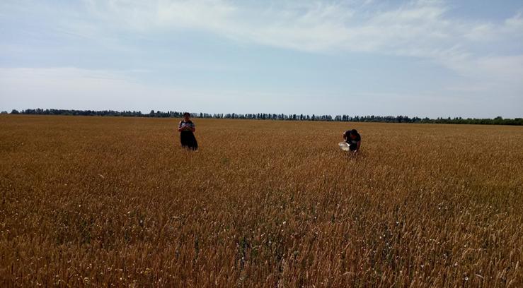 У Скадовському районі триває моніторинг фітосанітарного стану посівів