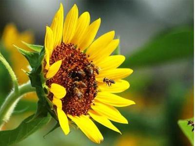Бджільництво як ефективний засіб підвищення урожайності