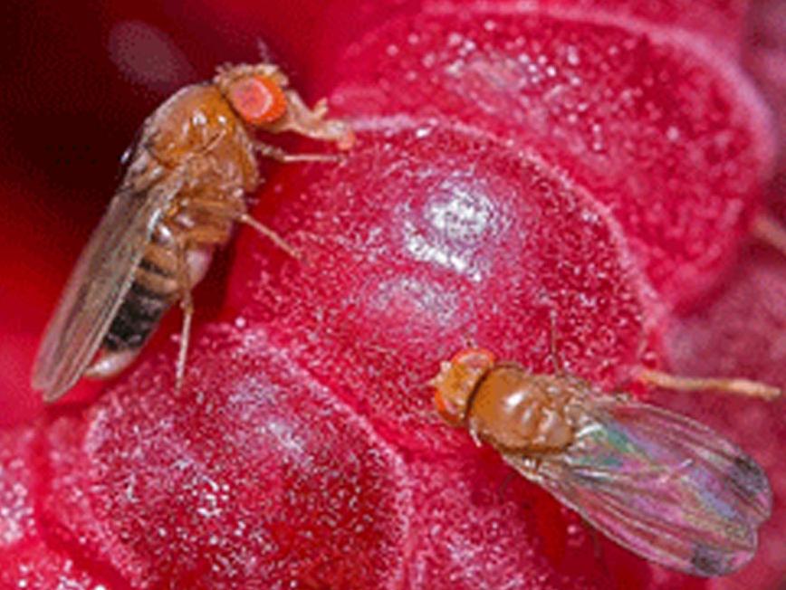 Дрозофіла Сузукі – новий небезпечний шкідник плодово-ягідних культур