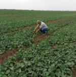 Технологія вирощування озимого ріпаку
