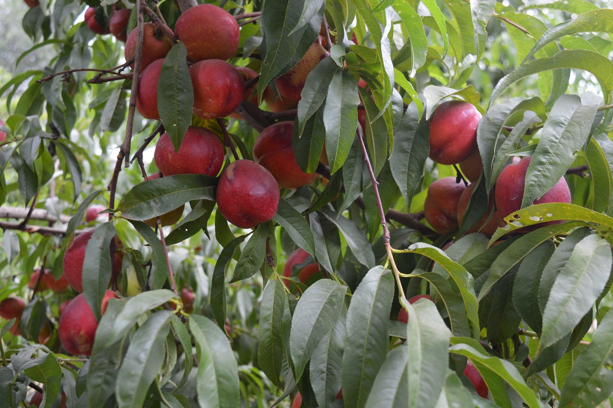 Персикові сади Херсонщини під контролем фахівців-фітосанітарів