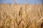 Підготовка насіння озимих зернових до сівби