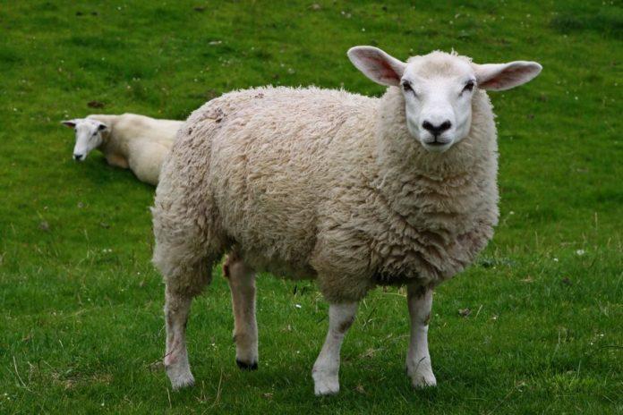 Незаразні хвороби овець на які слід звертати увагу  в осінньо-зимовий період