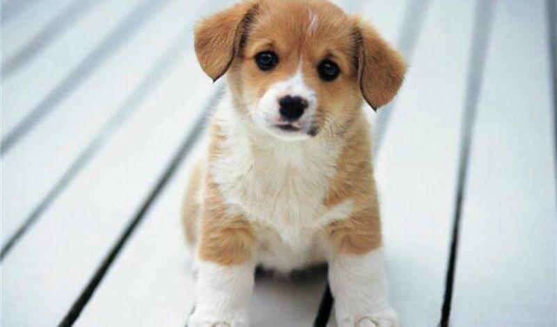 Коронавірусний ентерит собак