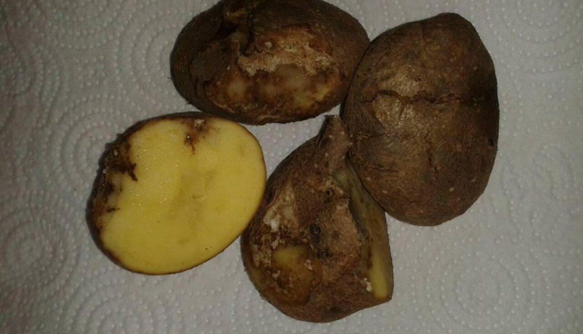 Що потрібно знати про стеблову нематоду картоплі?