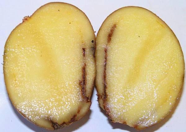 Хвороба, яка погіршує зберігання картоплі у зимовий період – кільцева гниль картоплі