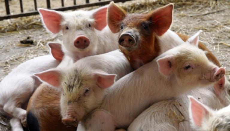 Еймеріоз та ізоспороз свиней