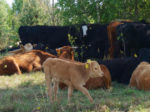 Готуємось до вигону корів на пасовища