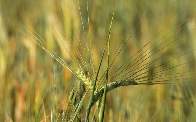 Готуємось до сівби ранніх ярих зернових культур