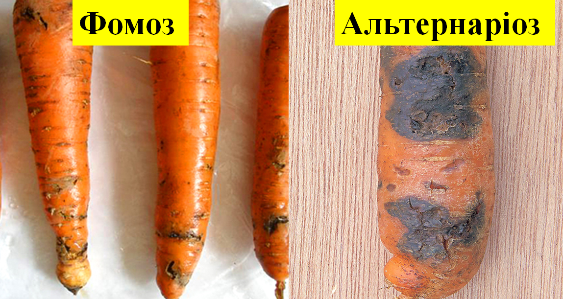 Не втрачай врожай: фітоекспертиза насіння моркви