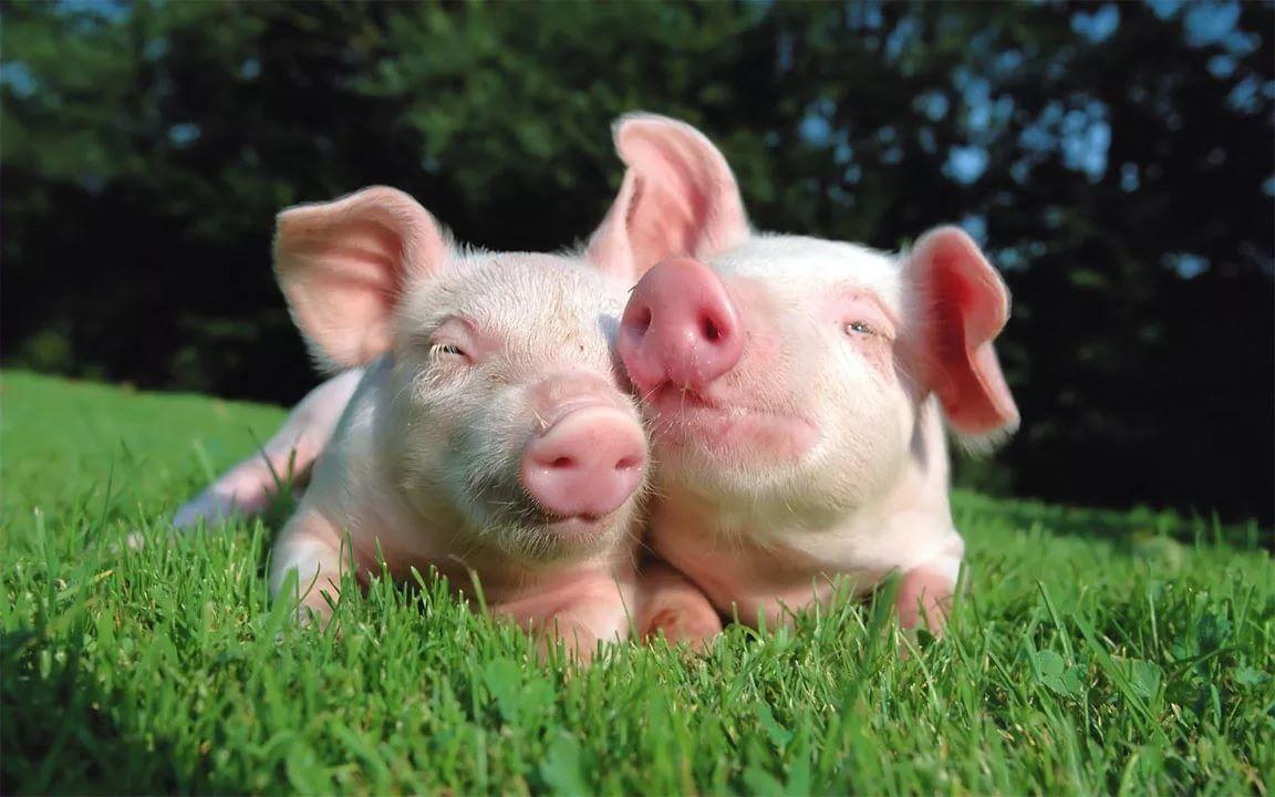 Головне управління Держпродспоживслужби в Херсонській області інформує щодо спалахів африканської чуми свиней